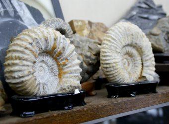 化石(アンモナイト)